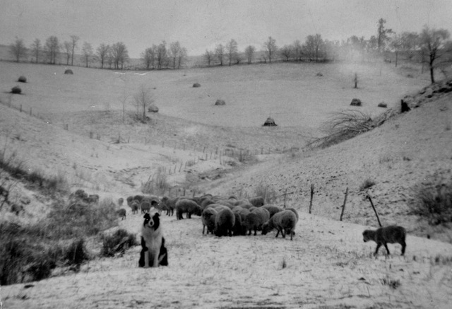Grazing Sheep in Mitchell County