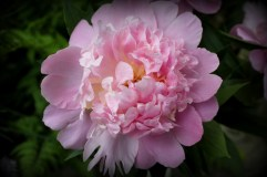 Peony from my mother-in-law's garden