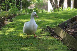 Neighbor's duck pays a visit
