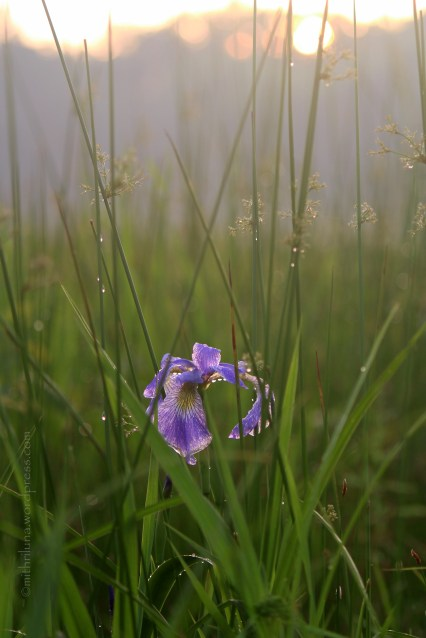 Wild Iris, Great Swamp National Refuge
