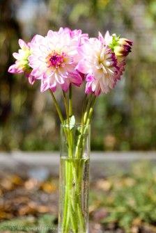 Dahlias from my garden