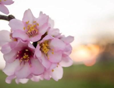 Ganz in Weiß: Mandelblüte auf Mallorca