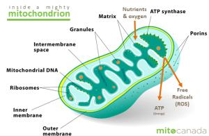What are mitochondria?  MitoCanada