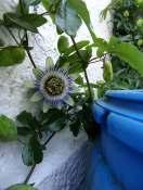 Die frisch geöffnete Blüte der Passionsblume.