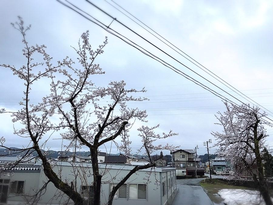 桜が開花しています!