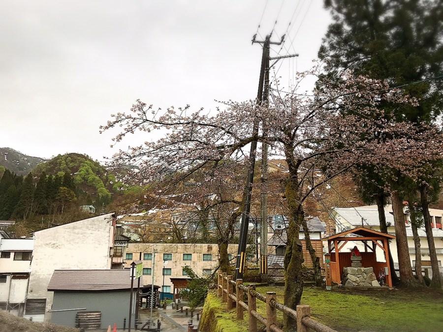 大湯温泉地区の桜