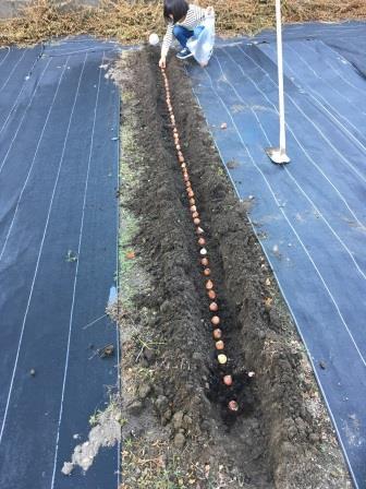 20171028チューリップの球根を植える