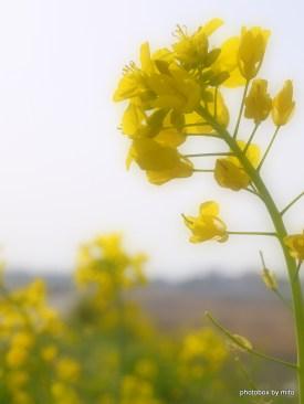 菜の花~カメラ散歩