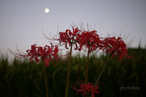 曼珠沙華①  月と曼珠沙華