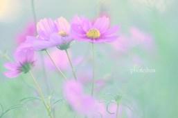 秋桜(2)