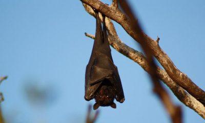 El mito del murciélago, Oxaca