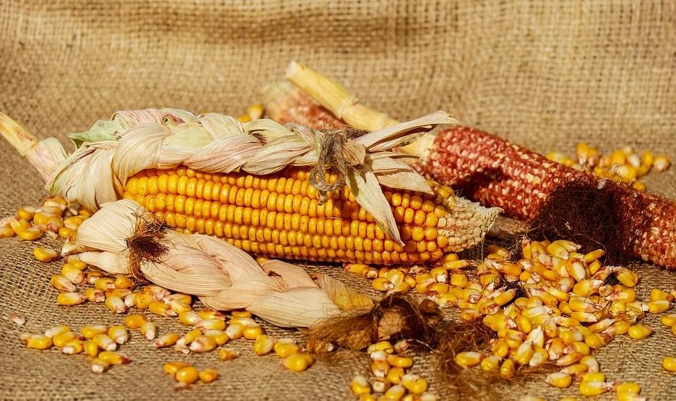 El mito del maíz huichol
