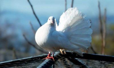 Simbología de la paloma