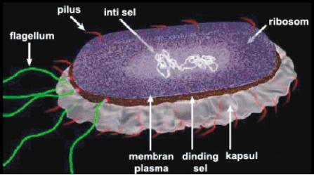 Struktur bakteri E. coli