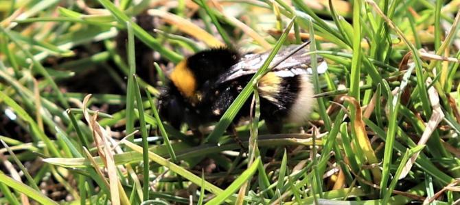 Humlebien er ikke i tvivl: Foråret er på vej