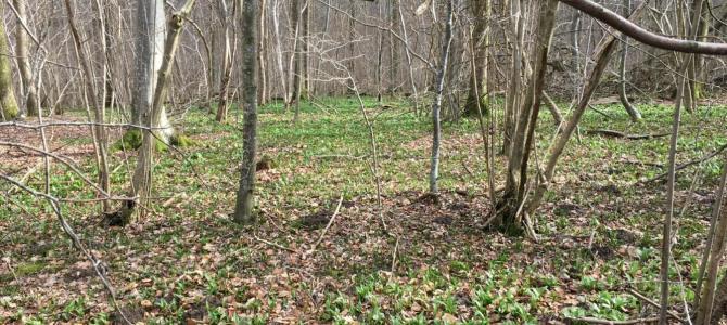 Skoven er slet ikke sprunget ud endnu – og dog…