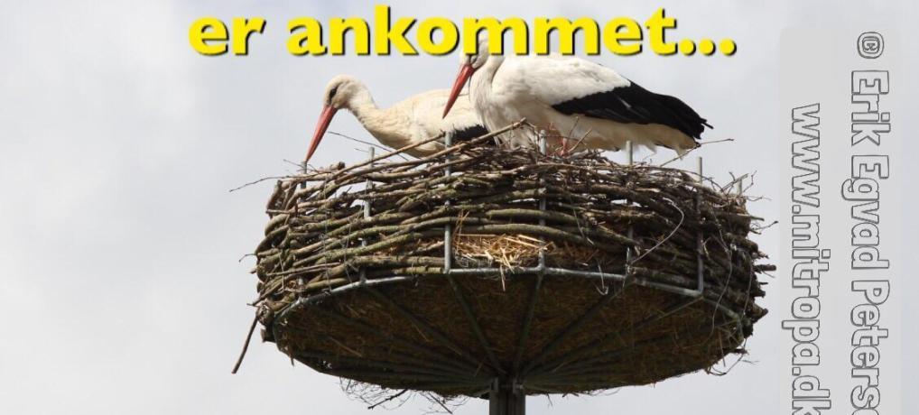 OPDATERET: De første storke er ankommet i det sønderjydske