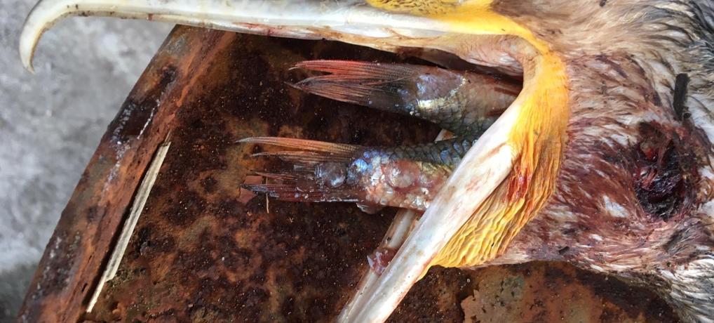 Skarven er et dyrt bekendtskab for erhvervsfiskerne og turistindustrien