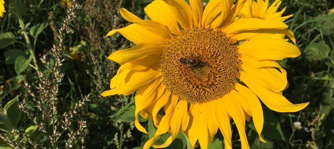 NATUR – Masser af vilde bier…