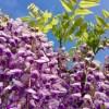GWは藤の花が見頃 春日部の藤まつりや天然記念物を見に行こう 開花状況も