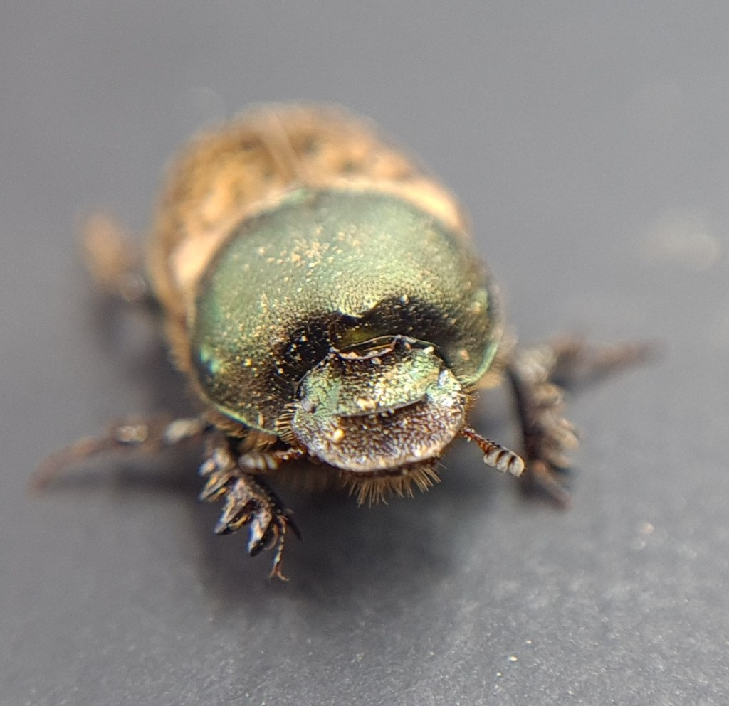 dung beetle vacca F1 170820