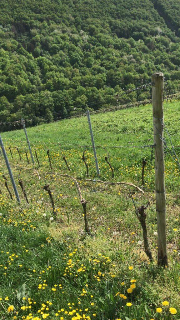 Mechthild Stassen von Weingut Stassen in Oberheimbach fotografierte die zerschnittenen Reben im Heimbachtal.
