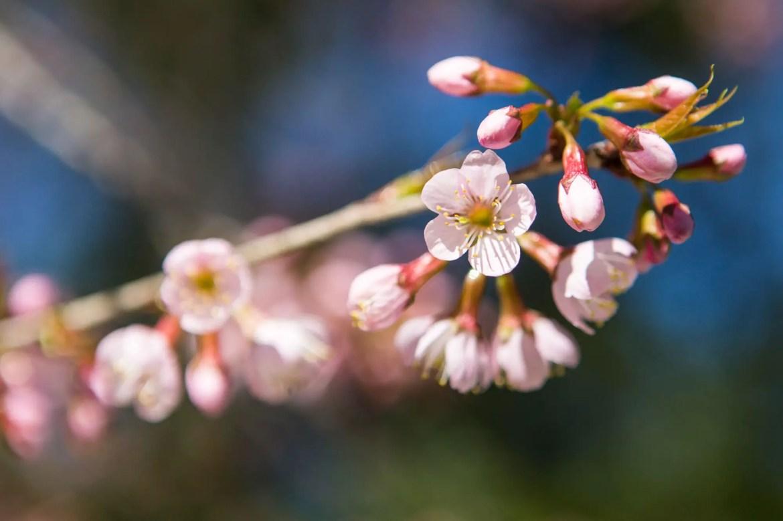 Família de japoneses radicada em BH cultiva a beleza das cerejeiras