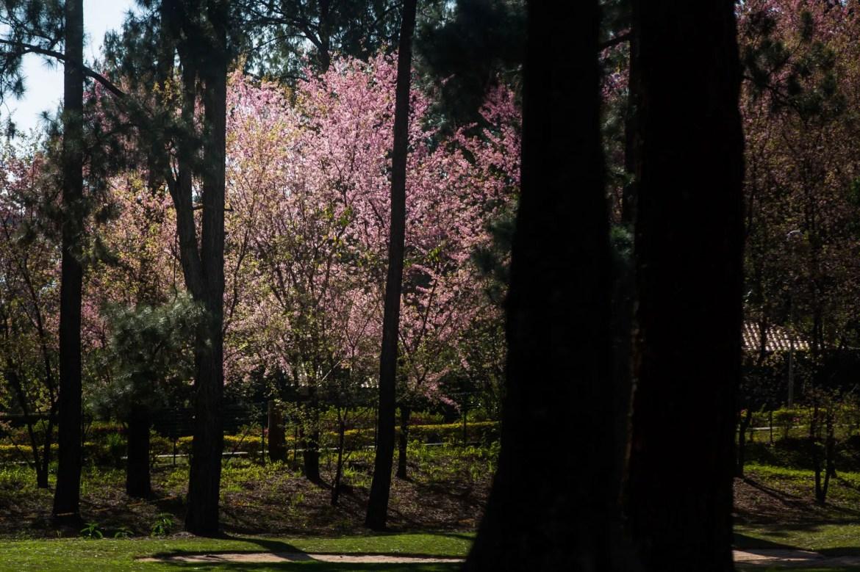 Símbolo do Japão, cerejeiras encantam moradores de Minas