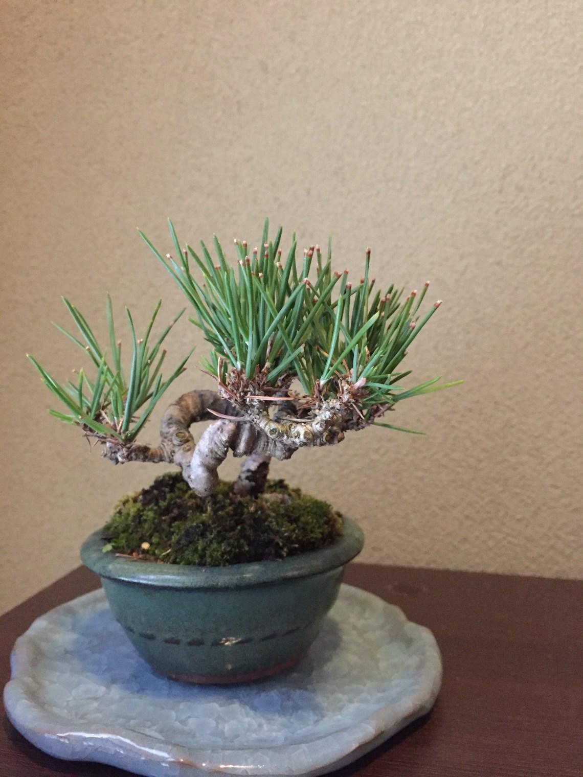 きものと舞う 松 盆栽