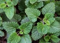 June - fresh mint from my garden.