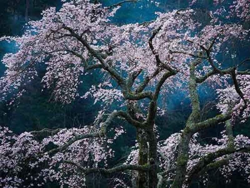 japan-cherry-blossom-scene_95064_990x742