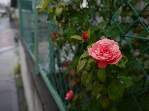 バラ 2014.8.14 東京都練馬区