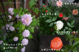 140827blog_miniature_roses