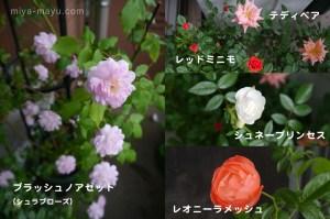 140827blog_miniature_roses