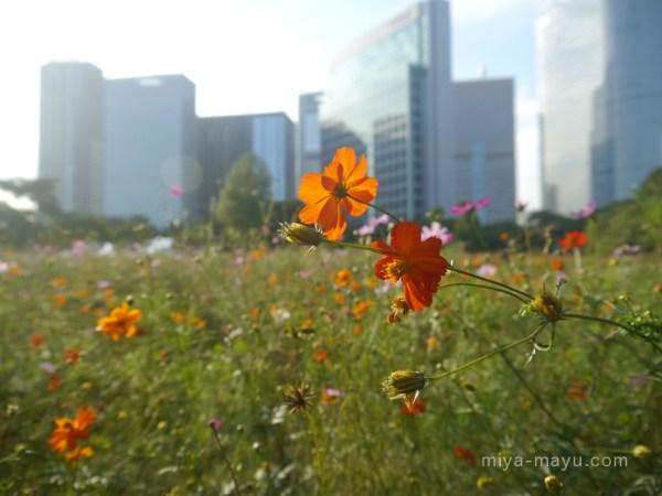 浜離宮恩賜庭園のキバナコスモス 2012.9.29 東京都中央区