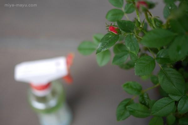 ミニバラ(レッドミニモ)のうどんこ病と酢水スプレー 2015.05.15 東京都練馬区
