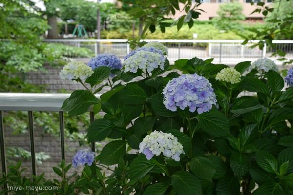 アジサイ 2015.06.10 東京都練馬区