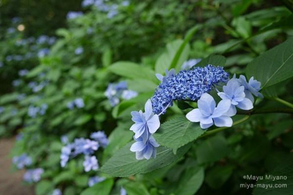 ガクアジサイ 2015.6.22 東京都文京区・六義園