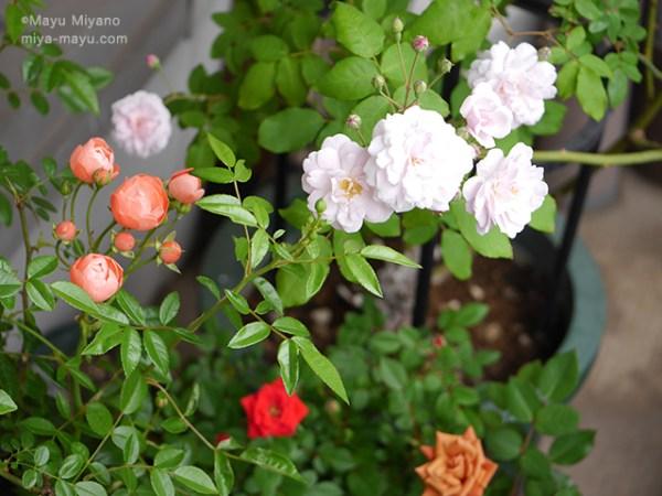 ベランダのバラ 2016.05.10 東京都練馬区