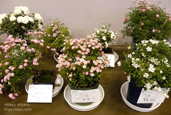 ミニバラ、前列左から品種名「ほほえみ」「すえ姫」「レンゲ」