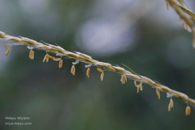 おしべの葯が3コ、糸でぶらさがる。羽毛のようなものはめしべか?