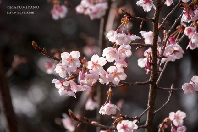 2018.2.27 早咲きの桜 東京都新宿区・新宿御苑