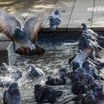 鳩,ハト,神社,公園0,平和,象徴