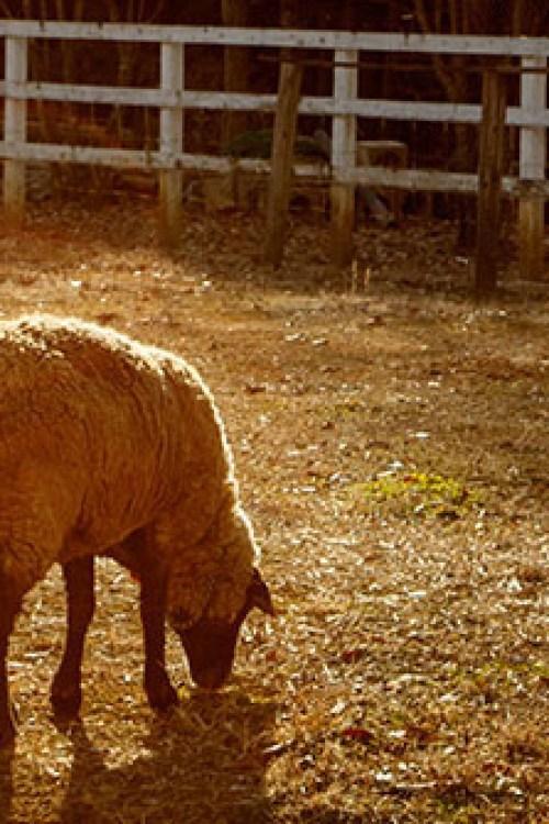 羊山公園,ジュウガツザクラ,秩父