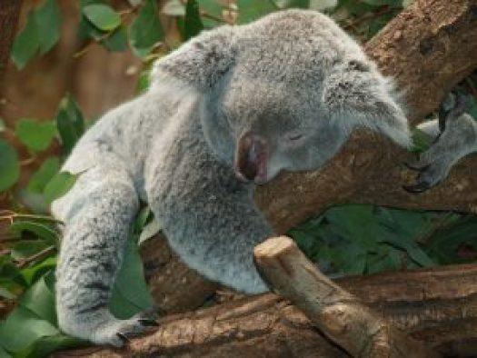 koala-bear-9960_1280