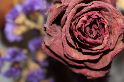 dried-rose-1668600_1280