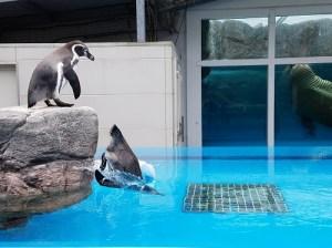 宮川のほとり動物病院鳥羽水族館ペンギン飛込