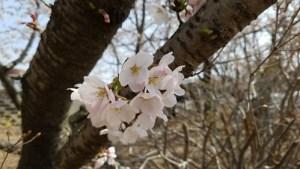 宮川のほとり動物病院,桜