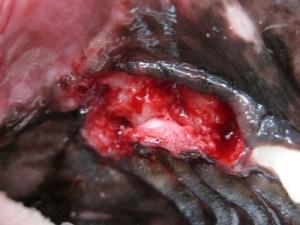 宮川のほとり動物病院,歯科処置,抜歯