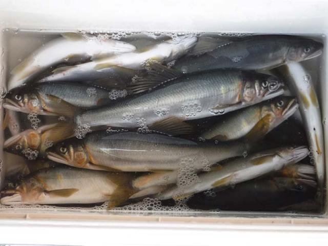 湯津ヶ瀬の釣果22匹